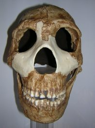 Skull of Homo neanderthalensis Amud 1 front view