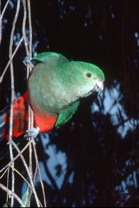 Australian King-Parrot, female