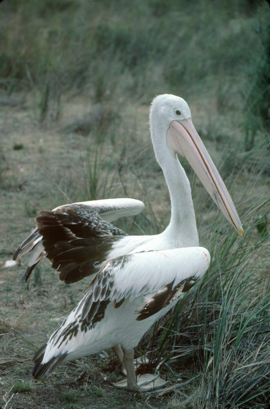 Pelican standing in grass