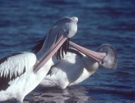 Two pelicans grooming