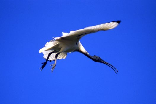 Australian White Ibis flying