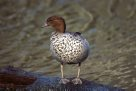 Australian Wood Duck on rock