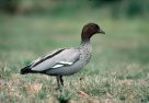 Australian Wood Duck on grass