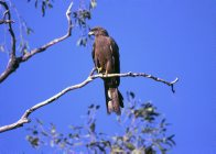 Black Kite in tree