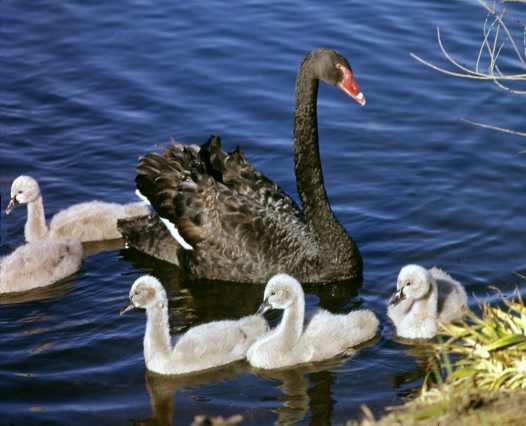 swan%20and%20signets_big.jpg