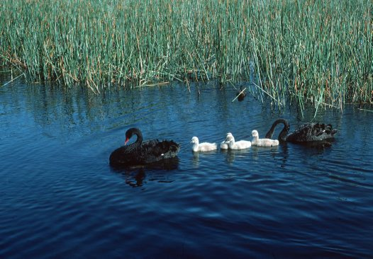 Black Swans swimming with cygnets