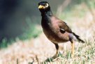 Common Myna on grass