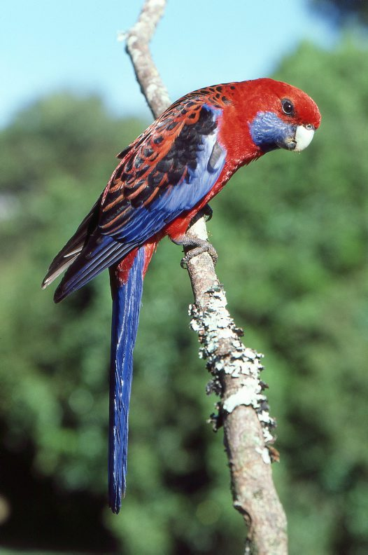 Crimson Rosella on branch