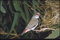 Diamond Firetail at nest