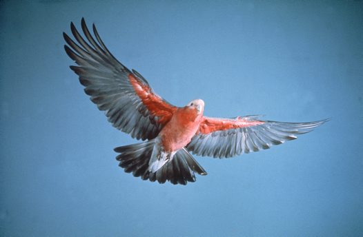 Galah, in flight
