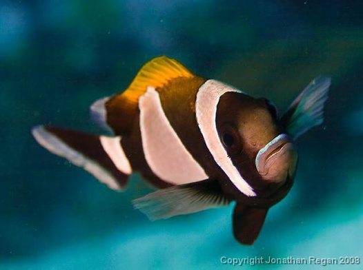 Wideband Anemonefish, Amphiprion latezonatus