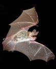 Corben's Long-eared Bat