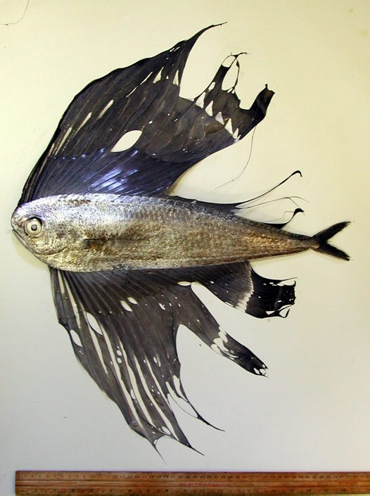 A Pacific Fanfish caught off Long Reef