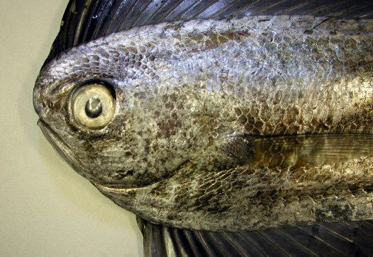 Head of a Pacific Fanfish
