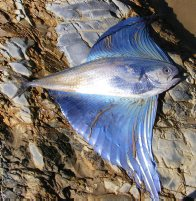 Pacific Fanfish washed up near Coffs Harbour