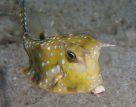Longhorn Cowfish off Manado