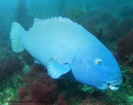 Eastern Blue Groper at Fly Point