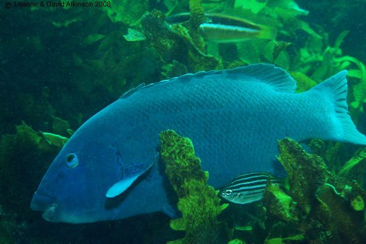 Eastern Blue Groper at Broughton Island