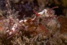Sydney's Pygmy Pipehorse on a hydroid