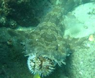 Spotted Wobbegong at Cook Island
