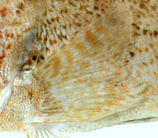 Bilobed pectoral fin of a Blackspotted Gurnard Perch