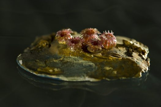 Blaschka glass model of Gregoria fenestrata