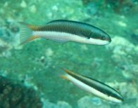 Two juvenile Bluehead Wrasse