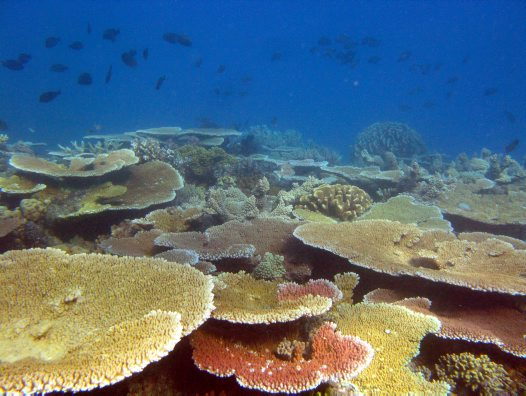 Plate corals, South Island, Lizard Island Group