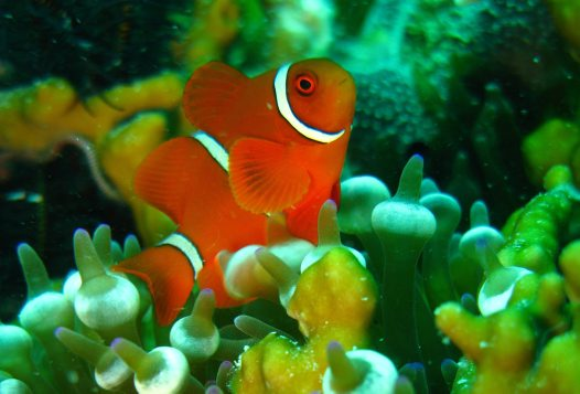 Anemone fish at Cobia Hole, Lizard Island