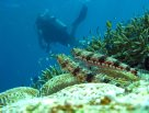Diver and lizardfish at Day Reef near Lizard Island