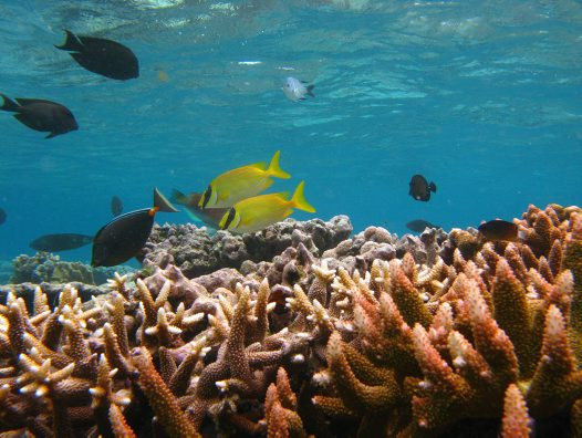 Rabbitfishes at Lizard Island