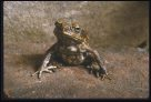 Cane Toad, front view