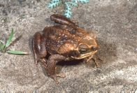 Cane Toad, top view