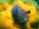 Christmas tree worm, Lizard Island
