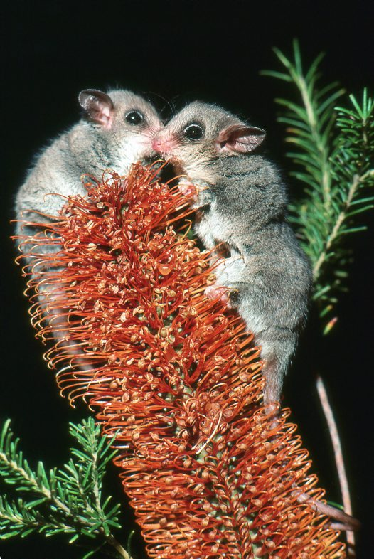 Eastern Pygmy Possums on flower
