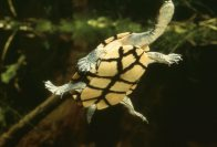 Eastern Snake-necked Turtle, from below