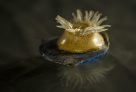 Blaschka glass model of sea anemone