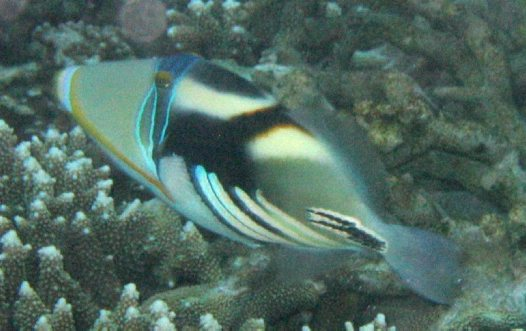 Hawaiian Triggerfish at Lady Elliot Island