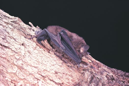 Eastern Freetail Bat, grooming