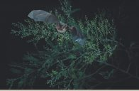 Gould's Long-eared Bat in flight