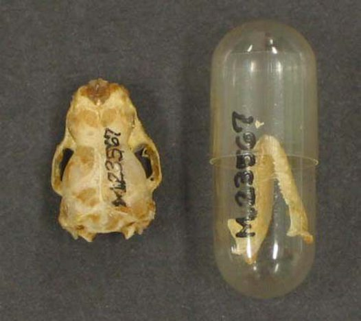 Gould's Wattled Bat, skull and jaw