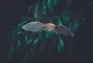 Eastern Horseshoe Bat, in flight