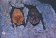 Eastern Horseshoe Bats, a pair