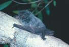 Hoary Wattled Bat on tree