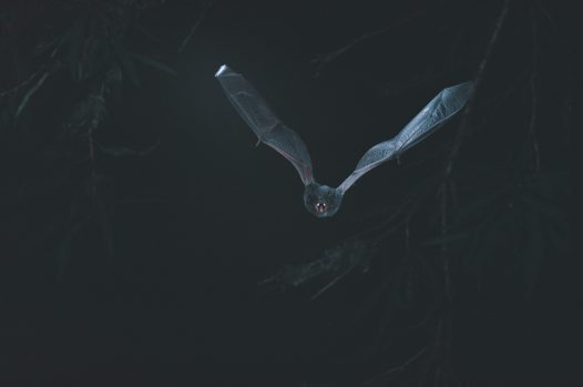 Hoary Wattled Bat in flight