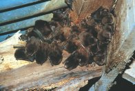 Chocolate Wattled Bats roosting in roof