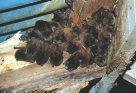 Australian Bat Photos Australian Museum