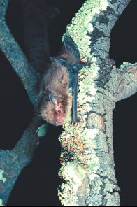 Little Forest Bat