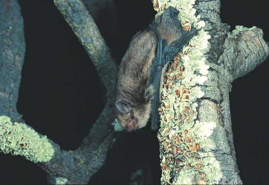Little Forest Bat, on tree