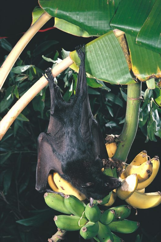 Black Flying-fox on bananas